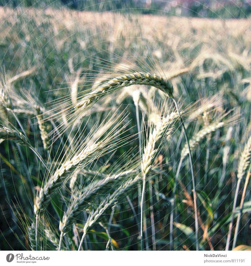 Korn Ähren Arbeit & Erwerbstätigkeit Landwirtschaft Bioprodukte Ernährung Ernte Feld Frucht gelb Gerste Gesunde Ernährung Getreide gold grün Kornfeld