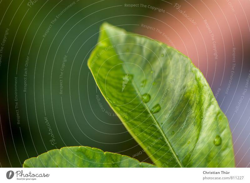 Wegweisend Umwelt Natur Wasser Sommer schlechtes Wetter Regen Gewitter Pflanze Blatt Grünpflanze Garten Blühend genießen leuchten ästhetisch frisch glänzend