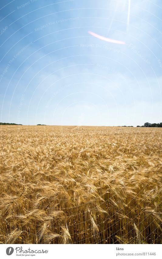 golden Getreide Sommer Sonne Landwirtschaft Forstwirtschaft Landschaft Himmel Horizont Pflanze Nutzpflanze Feld Wachstum blau gelb Aussaat Sonnenstrahlen
