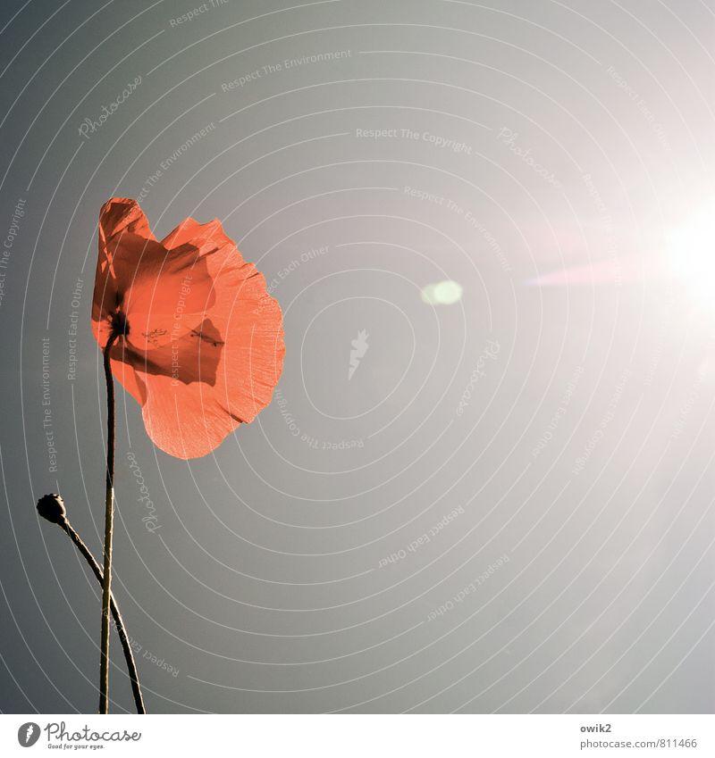 Berührung Umwelt Natur Landschaft Pflanze Wolkenloser Himmel Sonne Klima Wetter Schönes Wetter Blume Blüte Mohn Mohnblüte Mohnkapsel leuchten Wachstum