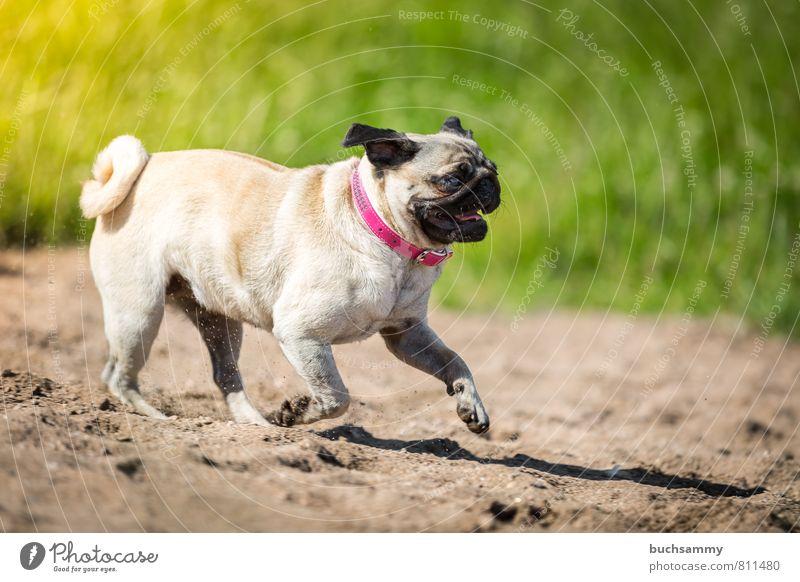 Strandläufer Sand Seeufer Flussufer Tier Haustier Hund 1 gehen Coolness niedlich Geschwindigkeit braun grün rosa schwarz Augen beige Halsband Haushund Modehund