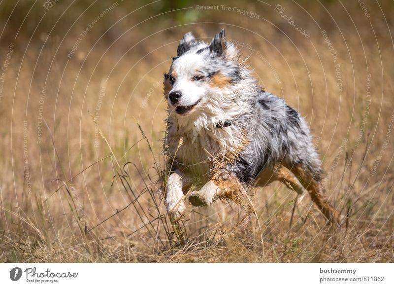 Schneller Australian Shepherd Freude Freizeit & Hobby Natur Sommer Gras Wiese Fell Haustier Hund 1 Tier rennen toben ästhetisch sportlich Fröhlichkeit Glück