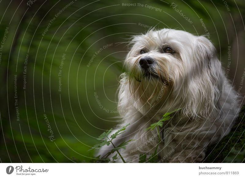 Havaneser im Grünen Hund Natur Pflanze grün weiß Tier Wald Gras klein Ast Lebewesen Fell Haustier langhaarig Rassehund
