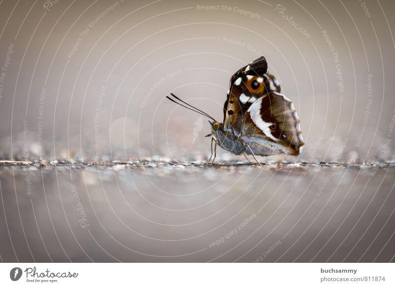 Schmetterling auf der Straße Natur Pflanze Tier Wildtier 1 Stein gelb grau orange Augen Beine Flügel Insekt Lebewesen Pfaueneauge Bildraum Tagpfauenauge