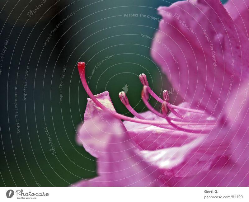 Pink rosa Blüte Blume Pflanze mehrfarbig Pollen Blumenstrauß Jahreszeiten Sommer Frühling filigran zart knallig Stengel Blütenstempel frühlingsboten