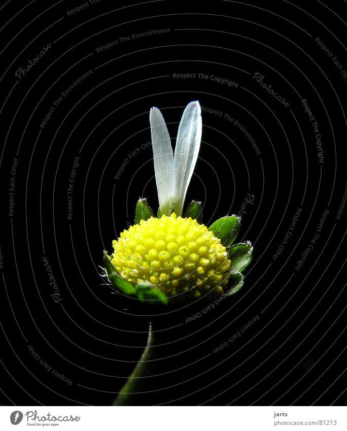 Sie liebt mich....oder? Gänseblümchen Blume Hoffnung Glücksspiel Ostern Blüte Religion & Glaube Volksglaube Spielen Indianer Liebeskummer Frauenheld Frieden