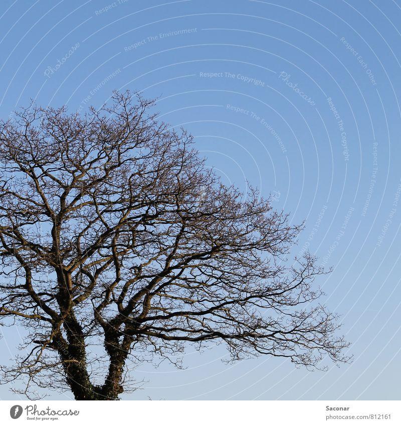 Textfreiraum | Baumkrone Natur Luft Wolkenloser Himmel Frühling Schönes Wetter hell trist blau braun Perspektive Bildausschnitt Ast Zweige u. Äste Klarer Himmel