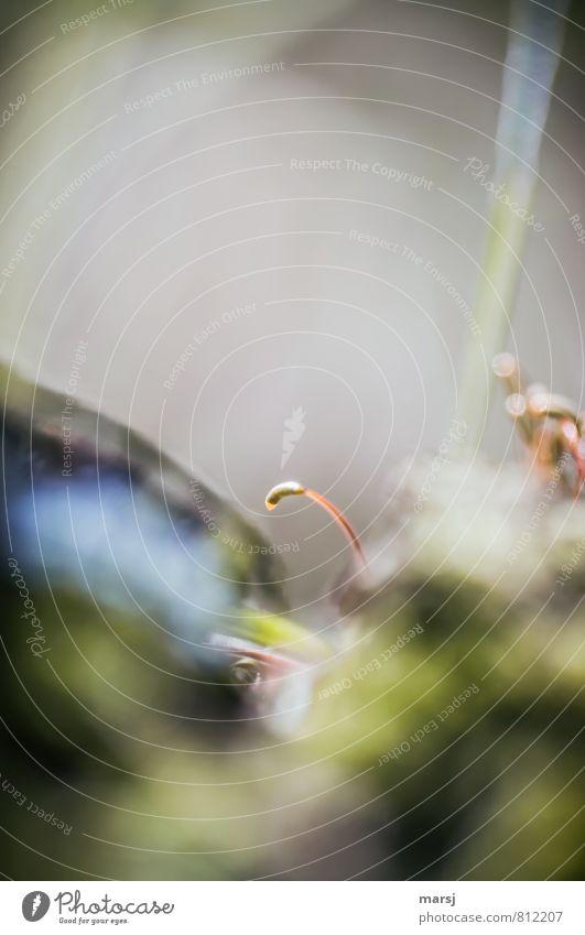 Eine einzelne Natur Pflanze Frühling Sommer Moos Blüte Moosblüte träumen Traurigkeit Erholung Leichtigkeit gebeugt Farbfoto mehrfarbig Außenaufnahme Nahaufnahme