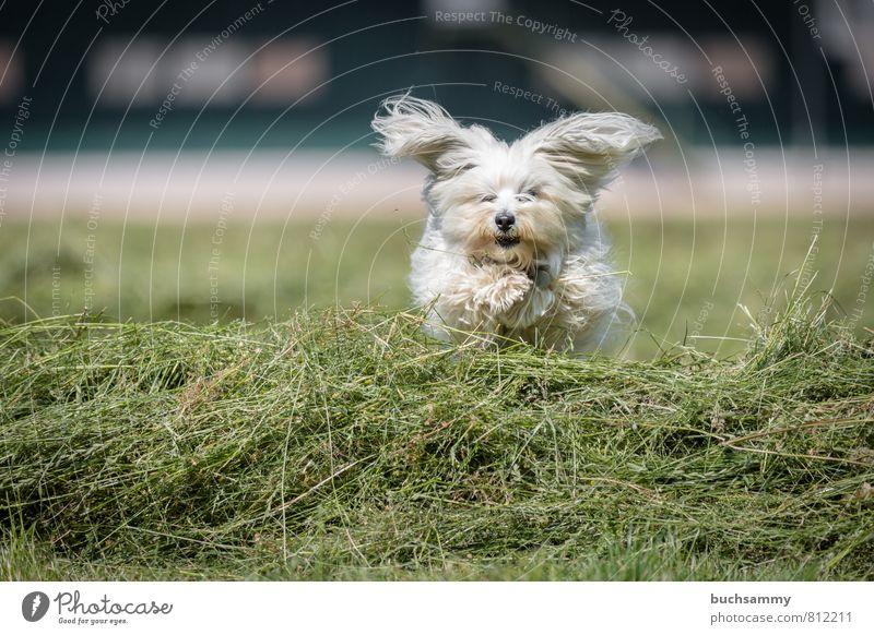 Segelohren Hund weiß Freude Tier Wiese Gras Spielen klein gehen springen Feld Aktion Lebewesen Fell Haustier langhaarig