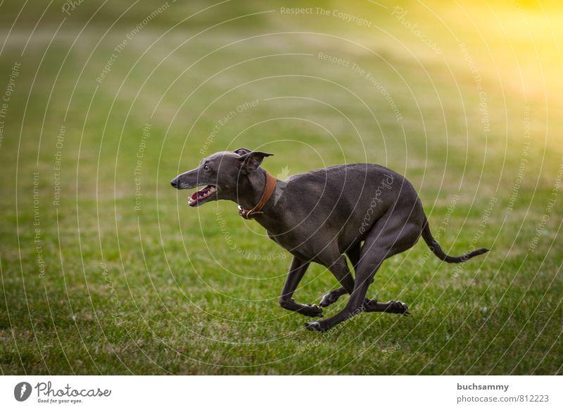 Windspiel Freude Tier Gras Wiese Haustier Hund 1 glänzend laufen elegant Geschwindigkeit grau grün Halsband Lebewesen Sonnenschein Windhund bester freund
