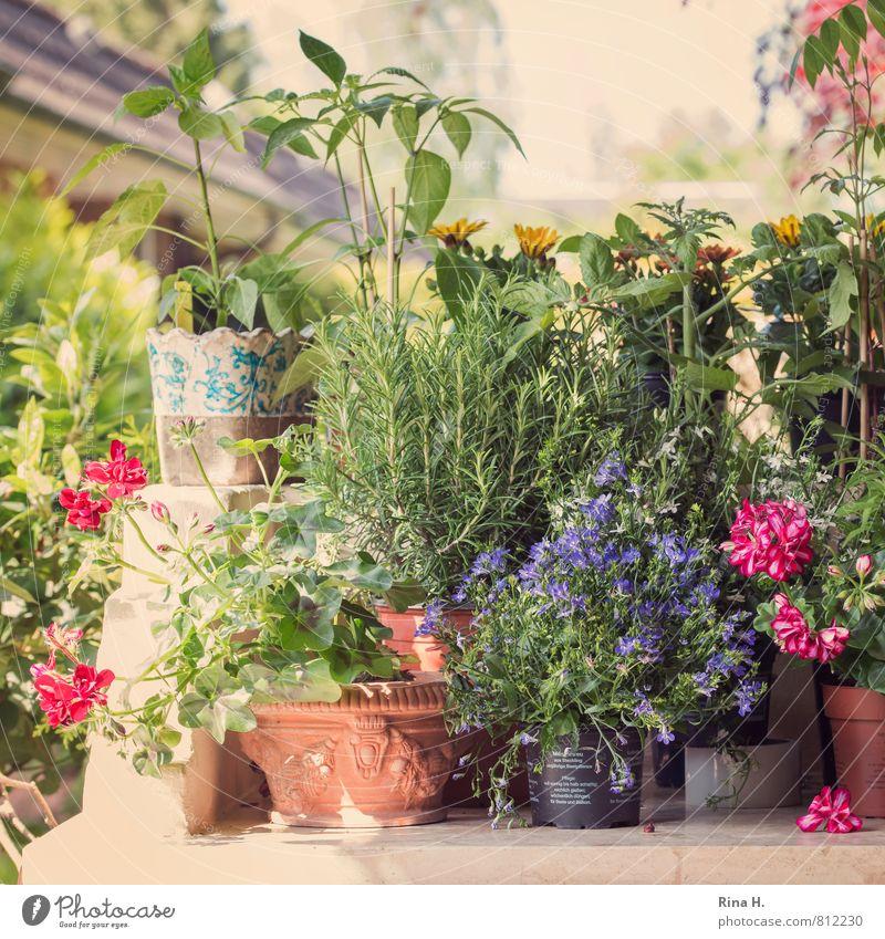 PflanzZeit Frühling Schönes Wetter Blume Topfpflanze Garten Blühend mehrfarbig Lebensfreude Frühlingsgefühle Zufriedenheit GARTEN_FRÜHLING Pelargonie