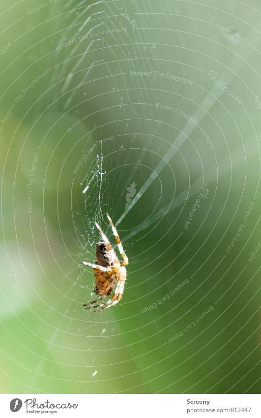 Gespannt Natur Tier Frühling Sommer Spinne 1 sitzen warten bedrohlich klein braun grün Wachsamkeit geduldig ruhig Angst gefährlich Spinnennetz Unschärfe