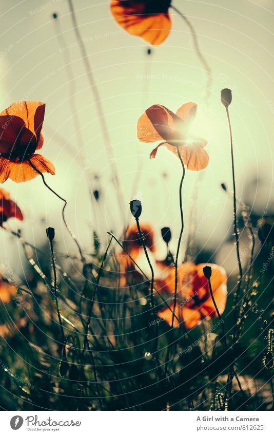 Mohn Umwelt Natur Pflanze Sommer Schönes Wetter Blume Feld Blühend elegant orange rot Mohnfeld Gedeckte Farben Außenaufnahme Experiment Menschenleer