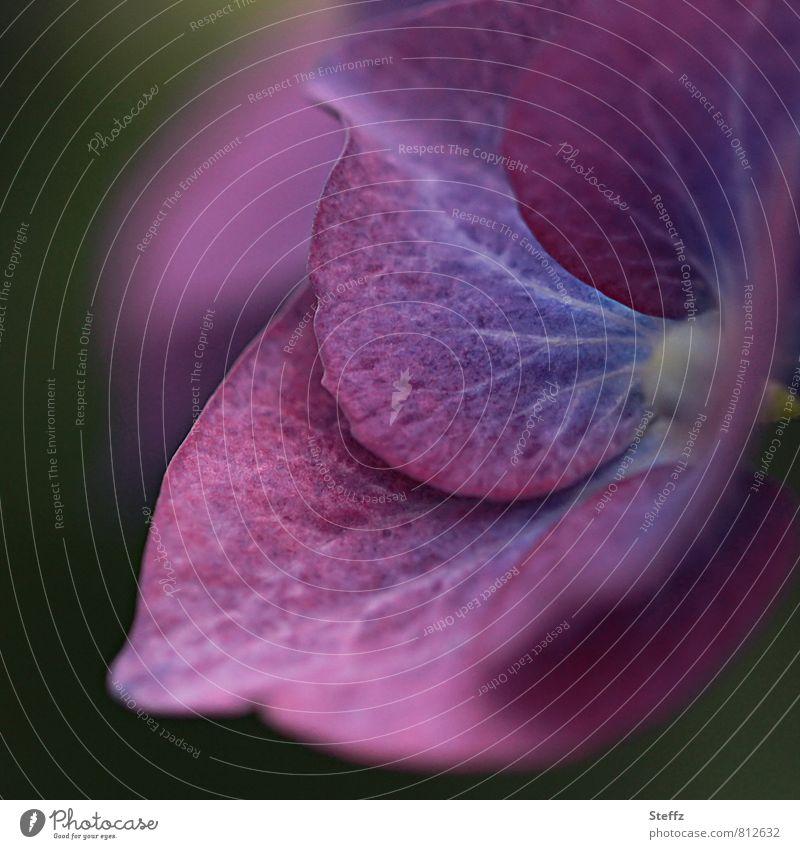 purple heart of Hortensia Hortensie blühende Hortensie Hortensienblüte Gartenhortensie lila Blume violette Blume Sommerblume lila Blüte lilarosa Hydrangea Juni
