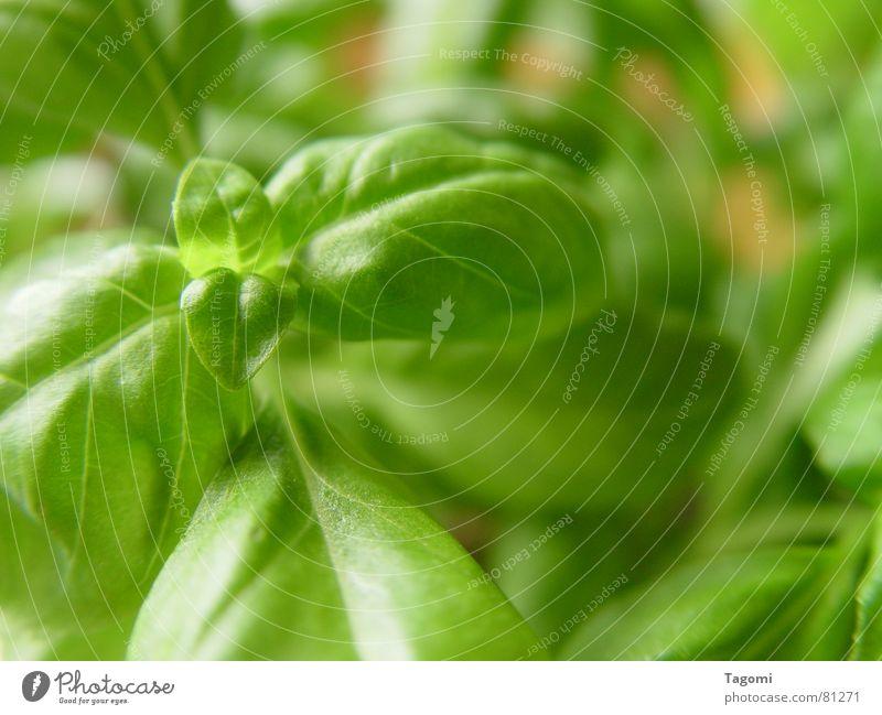 Basilikum grün Kräuter & Gewürze Italien Pflanze saftig frisch Topf Topfpflanze knackig aromatisch Gesundheit Restaurant mediterran Saucen Grünpflanze Botanik