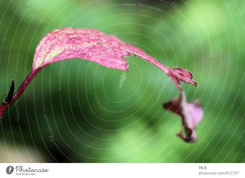 Blatt Natur Pflanze schön grün Farbe Sommer rot Frühling natürlich elegant authentisch ästhetisch Blühend einzigartig Gleichgewicht