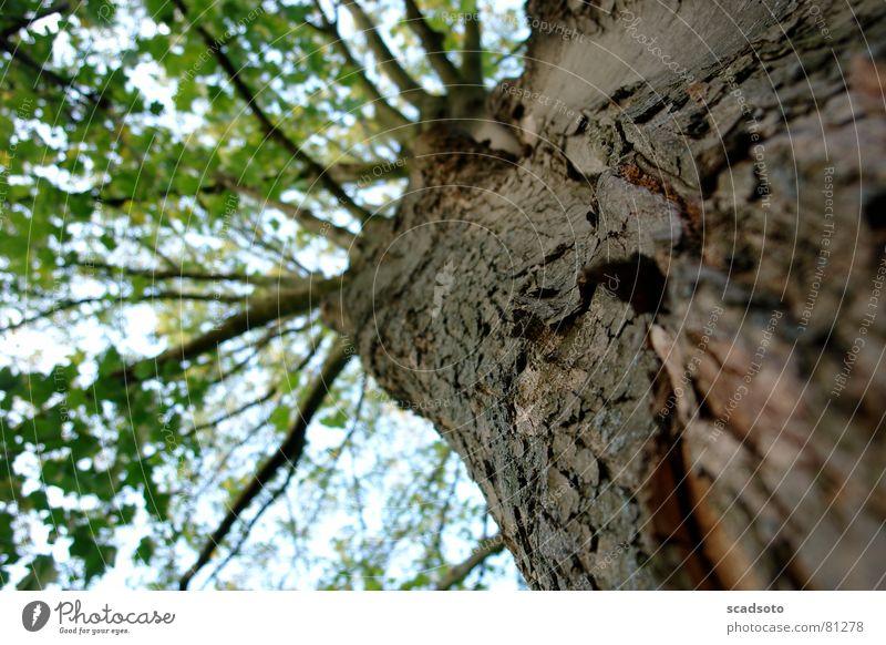 Baum Natur Himmel Baum Sommer Blatt träumen Baumstamm Baumrinde