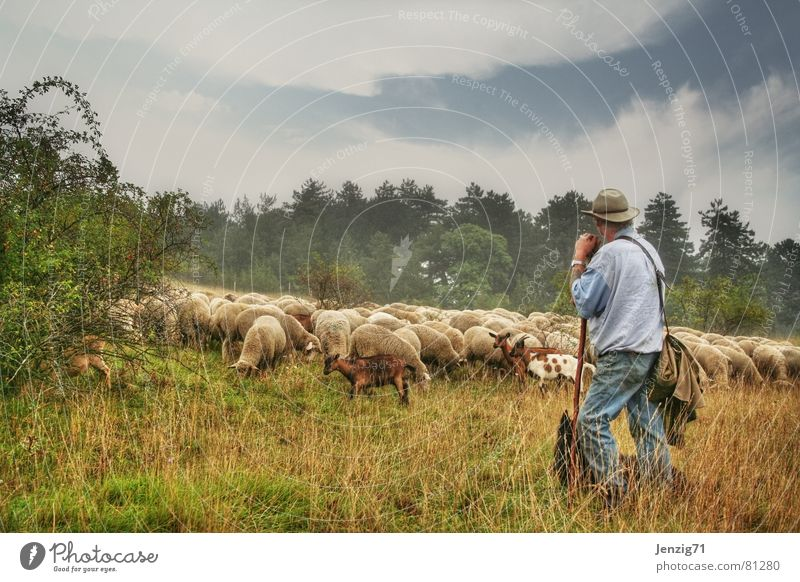 Hütet Euch! Ziegen Nutztier Hirte Rudel Ziegenfell Zicklein Hirtenhund Schaf Schäfer Wiese Gras Hund Wolle Fell Landwirtschaft Bock Dorfwiese Schurwolle Alm