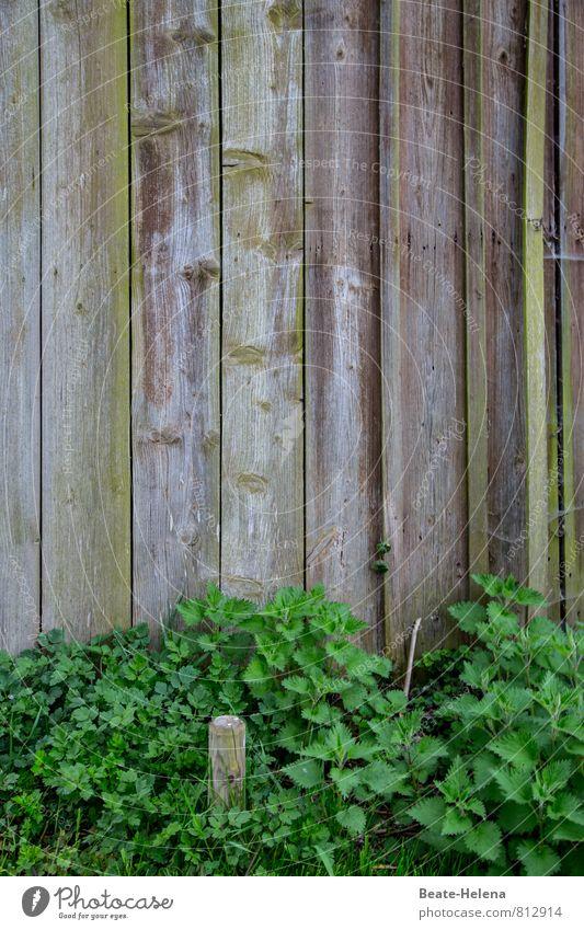 Perfekter Holzschutz Umwelt Natur Frühling Wetter Pflanze Nutzpflanze Brennnessel Feld außergewöhnlich dunkel braun grau grün Holzwand Grünpflanze Holzbrett