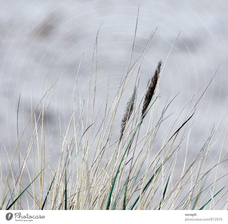 Strandhafer ammophila Schilfrohr Riedgras Röhricht Gras Unkraut Samen Halm Natur Pflanze Botanik Kräuter & Gewürze Umwelt fronds weich Küste geblümt stem