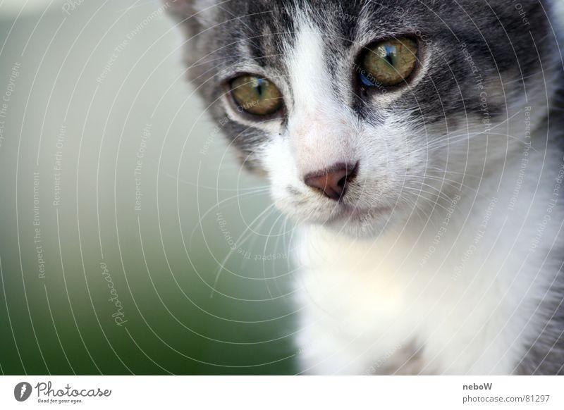 Blicke einer Katze Auge Tier grau Fell bewegungslos Hauskatze