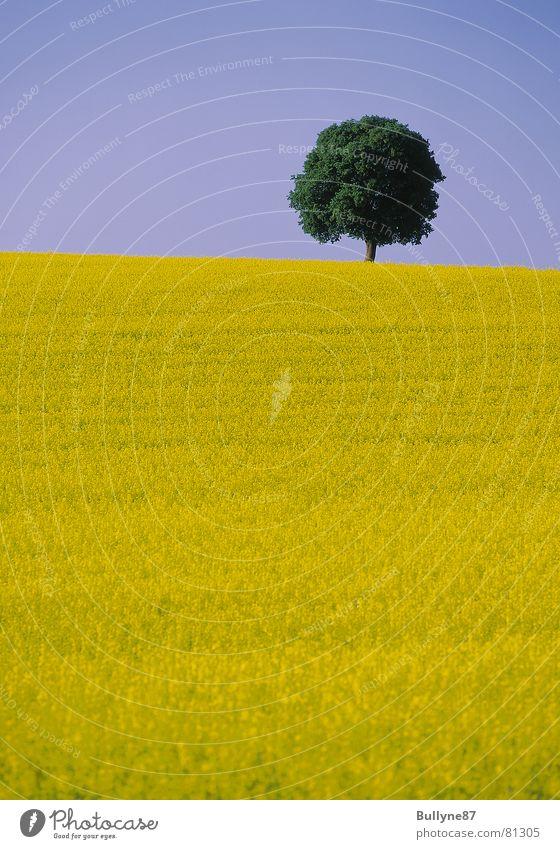 Raps und Baum Blume Landwirtschaft gelb grün Sommer Landschaft Himmel
