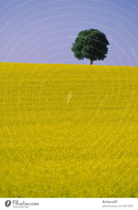 Raps und Baum Himmel Blume grün Sommer gelb Landschaft Landwirtschaft