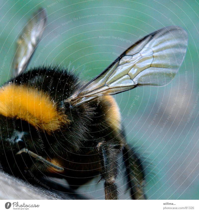 Hummel   Augen zu und durch! schwarz gelb Behaarung Flügel weich Insekt Fell Biene Hautflügler