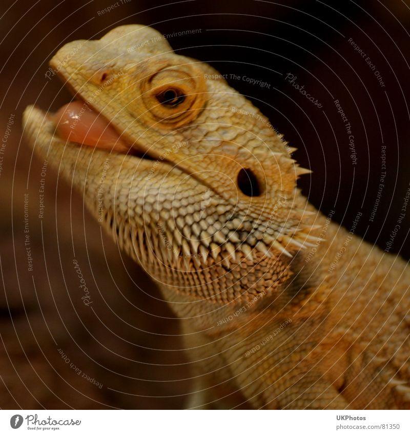 Echsenschelm Freude Auge Tier lustig Coolness Zoo Momentaufnahme frech Zunge lässig stachelig Terrarium aufreizend geistreich