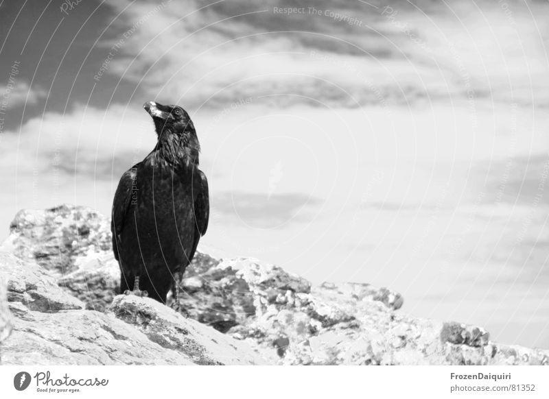 Kolkrabe SW No. 1 Himmel Wolken Tier Berge u. Gebirge Stein Felsen Vogel sitzen Vergangenheit böse heilig Österreich Märchen Weisheit Teufel Bundesland Tirol