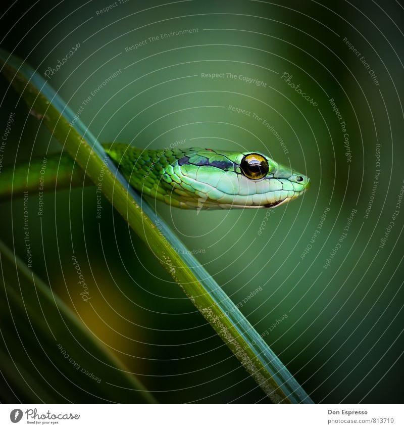 Boomslang Umwelt Natur Tier Urwald Wildtier Schlange 1 bedrohlich exotisch grün Angst Todesangst falsch Gift Hinterhalt hinterhältig Gebiss Giftzähne krabbeln