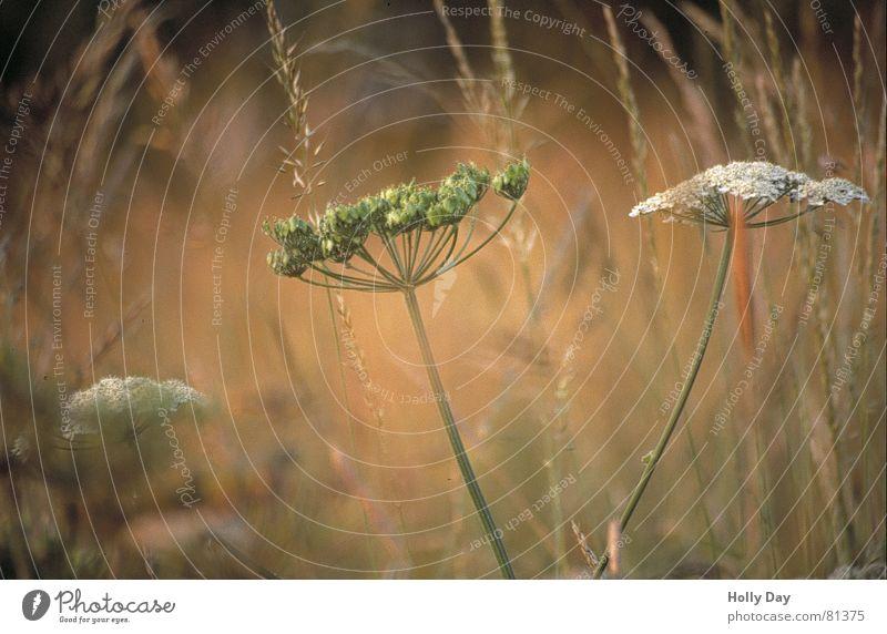 Grün und weiß, wie lieb ich dich... Blume grün Sommer Wiese Blüte Gras Weide 2006 August Gewöhnliche Schafgarbe
