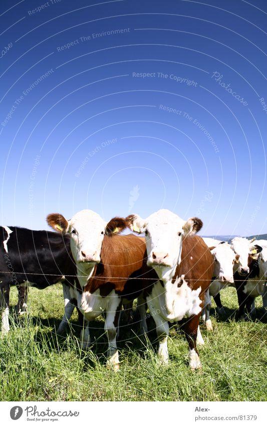 Q-Weide Himmel Tier Wiese Gras braun Tierpaar paarweise Bauernhof Kuh Säugetier Blauer Himmel Wolkenloser Himmel Rind Viehzucht