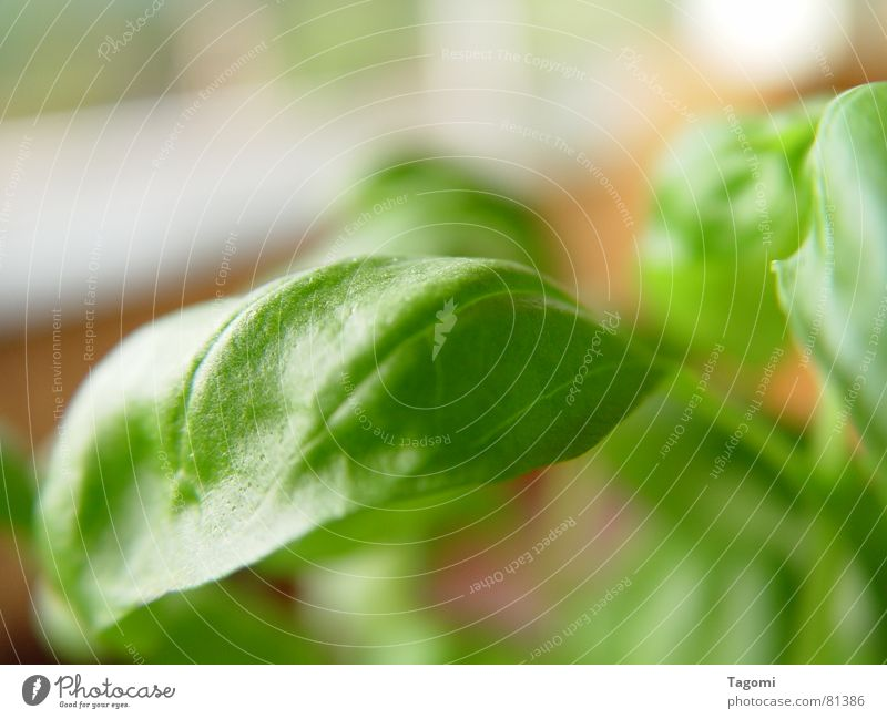 Basilikum II grün Pflanze Leben Garten Gesundheit frisch Ernährung Italien Kräuter & Gewürze Stengel Restaurant Geruch Mahlzeit Botanik Topf saftig