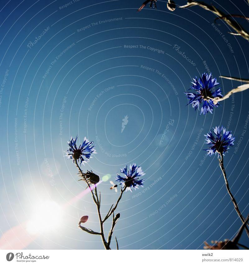 Centaurea cyanus Umwelt Natur Landschaft Pflanze Luft Wolkenloser Himmel Klima Schönes Wetter Blume Blüte Wildpflanze Kornblume Bewegung Blühend leuchten