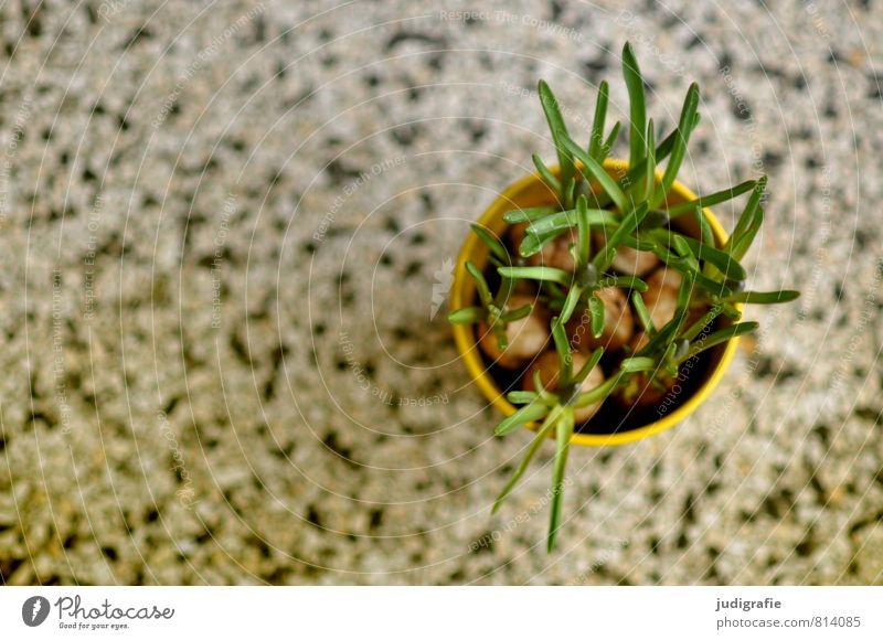 Blumentopf Häusliches Leben Wohnung Pflanze Frühling Topfpflanze Wachstum frisch rund grün Narzissen Knollengewächse terrazzo Dekoration & Verzierung Farbfoto