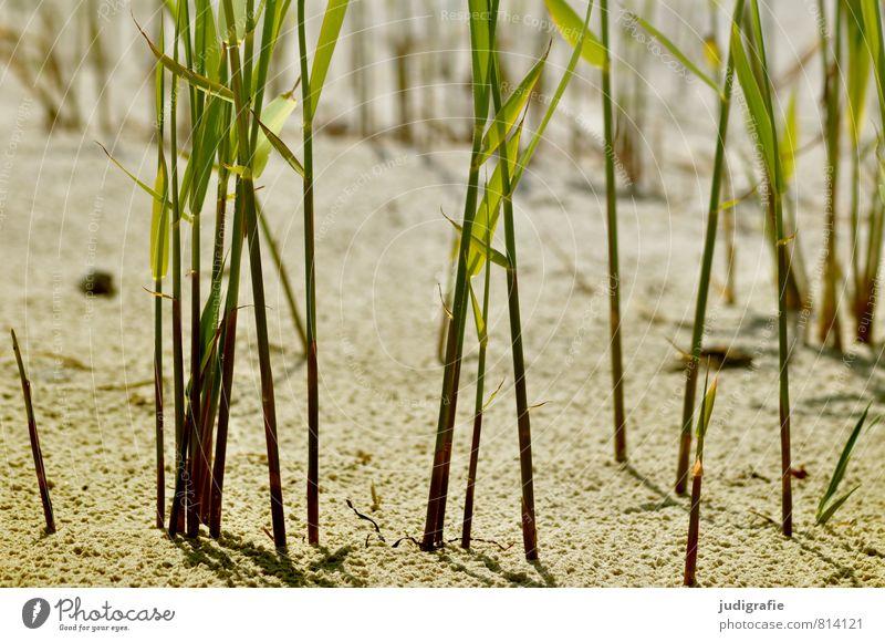 Strand Natur Pflanze Sand Küste Ostsee Wachstum natürlich wild grün Stimmung Umwelt Strandhafer Schilfrohr Gras Farbfoto Außenaufnahme Menschenleer Tag
