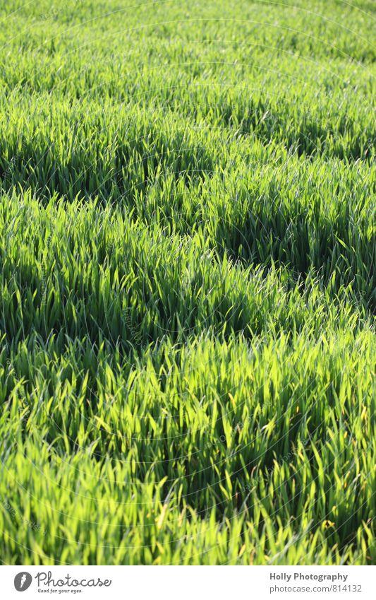 grünes Feld Natur Landschaft Pflanze Frühling Gras Grünpflanze füttern genießen Weizen Idylle ländlich säen Wachstum bebauen anbauen Landwirtschaft natürlich