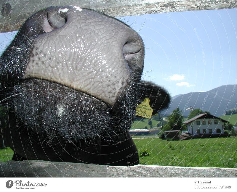 Naseweiß Tier Alpen Kuh feucht Säugetier Schnauze