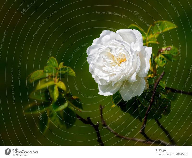 Weiße Rose schön harmonisch Wohlgefühl Duft Garten Flirten Valentinstag Natur Pflanze Sommer Blume Blüte Liebe verblüht ästhetisch elegant natürlich grün weiß