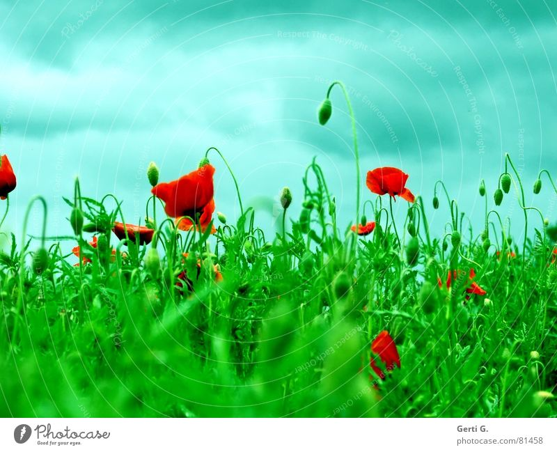 popisch Himmel grün blau rot Sommer Wolken Gras Berge u. Gebirge Wind geschlossen frisch Rasen Aussicht Hügel Blühend Mohn