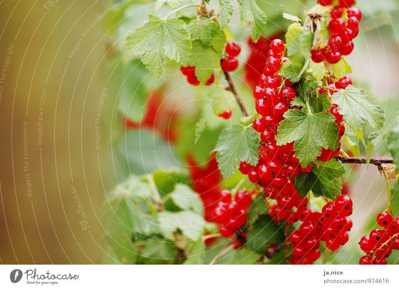 Beerig Natur Sommer Pflanze Sträucher Blatt Johannisbeeren Garten Essen frisch Gesundheit lecker natürlich sauer grün rot Umwelt Farbfoto Außenaufnahme