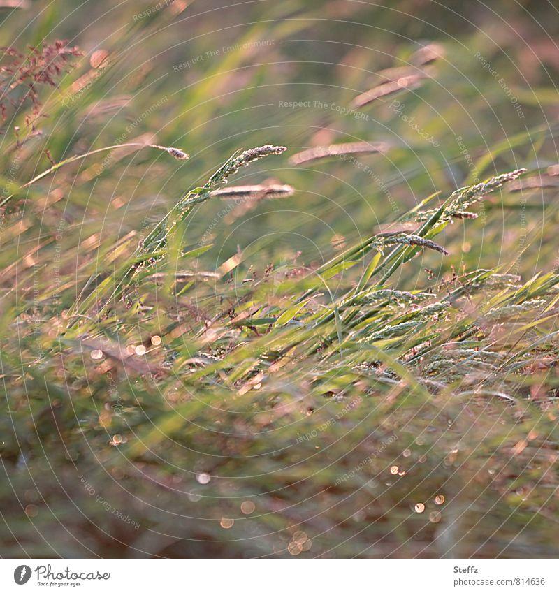 sanfter Sommerwind beugt die Gräser in warmem Nachmittagslicht Wind Gras Grashalme Grasspitzen Wiese leichter Wind leichter Sommerwind sanfter Wind warmes Licht
