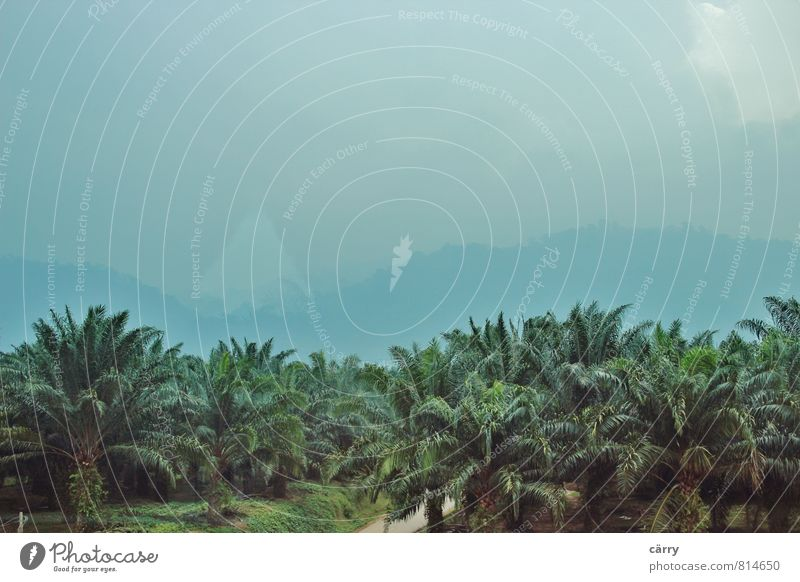 Palmenmeer im Dunst Natur Ferien & Urlaub & Reisen blau Pflanze grün Landschaft dunkel kalt Leben Regen Nebel wandern beobachten Blühend Abenteuer fahren