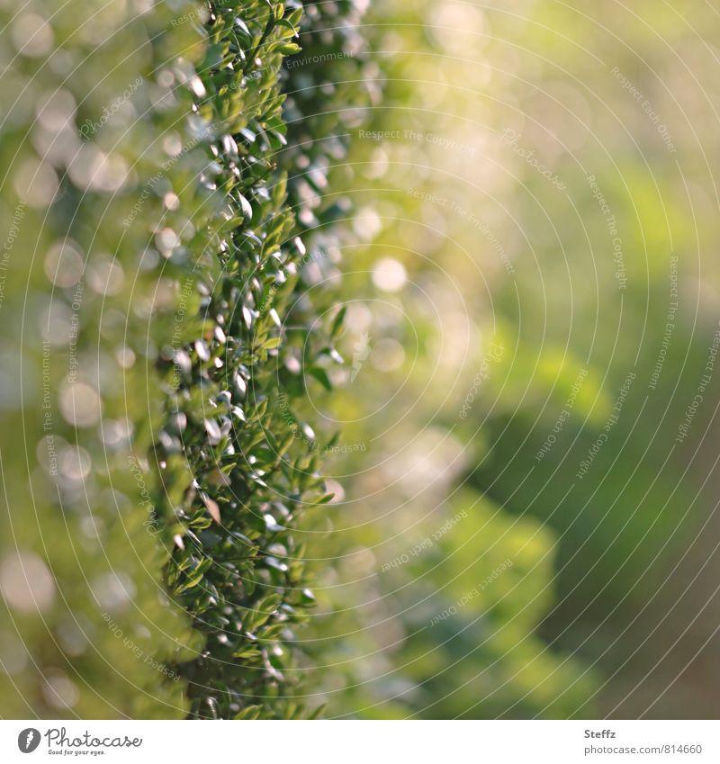 Buchsbaumhecke mit Lichtreflexen im Sommergarten Hecke Heckenpflanze Gartenzaun Zierstrauch Heckentrieb Grünzeug Heckenwand buschig Zaun Abgrenzung Lichteinfall
