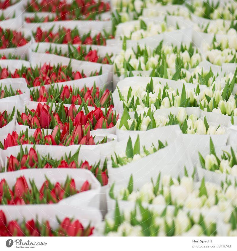 Rotweißgrün Frühling Pflanze Blume Blatt Blüte Antwerpen Belgien Marktplatz ästhetisch schön rot Tulpe Tulpenblüte Tulpenstrauß Blumenstrauß Marktstand