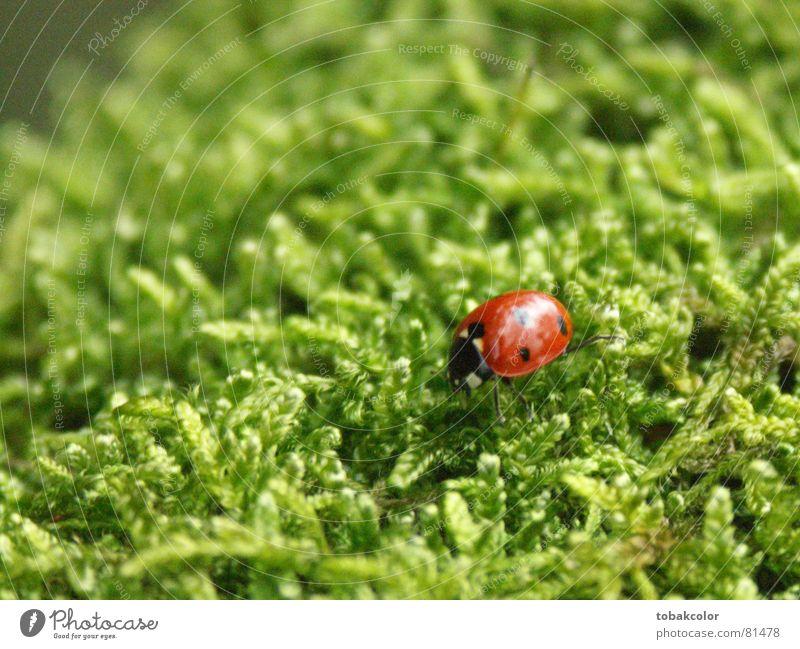 Ladybug Nahaufnahme Marienkäfer Makroaufnahme Insekt Kontrast moosgrün Natur