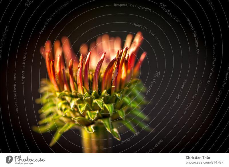 Sonnenhut Natur Pflanze schön grün Sommer rot Blume Tier Umwelt grau glänzend leuchten Zufriedenheit ästhetisch Schönes Wetter Blühend