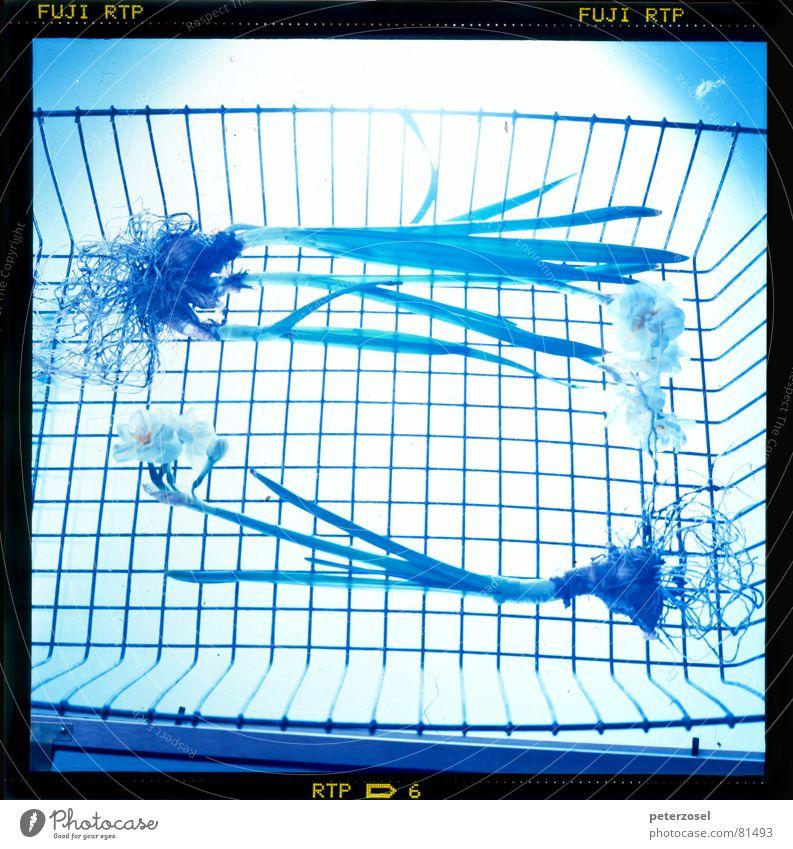 das EXperiement Blume blau Linie hell 2 Beleuchtung Glas paarweise Bild Tulpe Scheinwerfer Korb parallel Wurzel Zwilling Lichteinfall