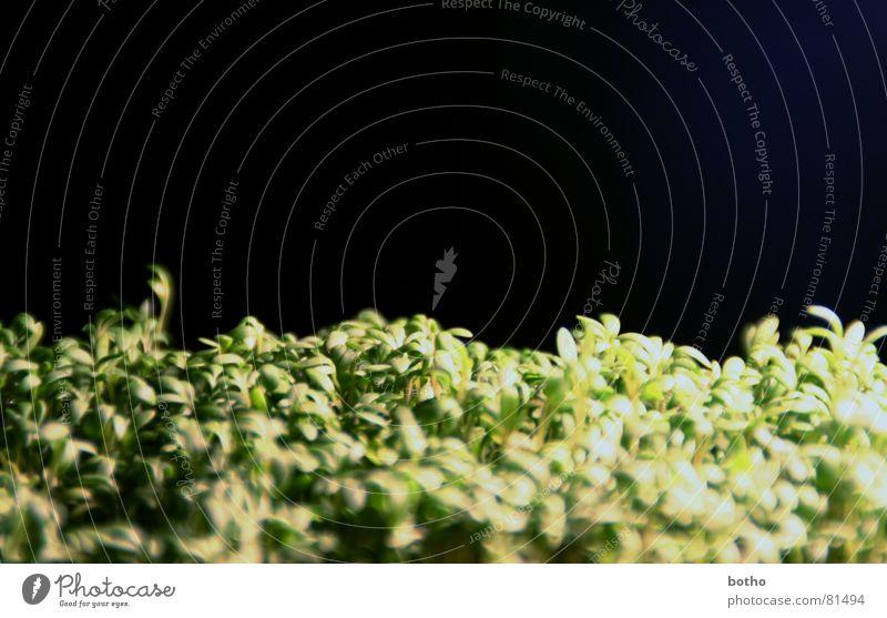 Kressenwald grün schwarz Wiese Gras hell Beleuchtung Wind Rasen Horn Waldlichtung Nadelwald Waldwiese Grünfläche Kresse Wäldchen